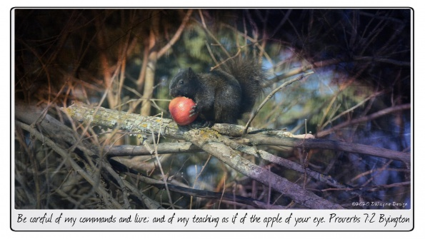 A black squirrel eating a red apple in a tree.
